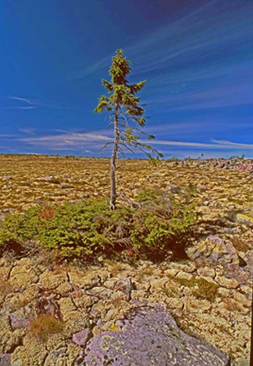 La pícea solitaria de Noruega, cuyas raíces tienen 9.950 años, es el árbol vivo más antiguo del mundo. (Foto: Universidad de Umeå)