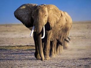 306_HMWQ_elefantesasg