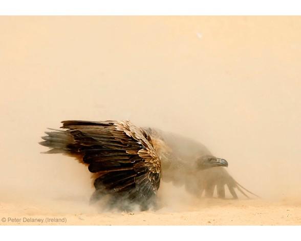 Peter Delaney resultó finalista en la categoría de retrato animal con esta instantánea este buitre agachado a punto de entrar en una pelea, que según el autor recuerda a un gladiador en la arena.