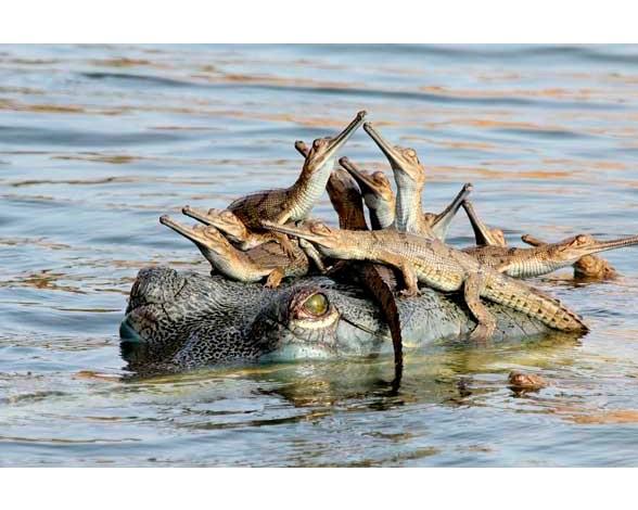 """Esta fotografía del joven indio Udayan Rao Pawar (14 años), donde se puede ver a un cocodrilo con sus crías sobre la cabeza, resultó ganadora en la categoría """"Joven fotógrafo"""" del concurso."""
