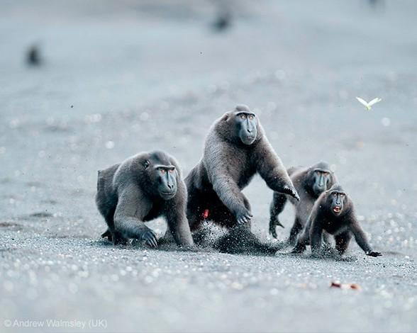 """Esta pandilla de macacos negros crestados (Macaca nigra) observaban a un enorme macaco macho situado frente a ellos intentando llamar su atención y desafiarle. La historia acabó con una veloz carrera por parte de los cuatro """"camorristas"""" al ver la furiosa reacción de su oponente. Así fueron retratados por Andrew Walmsley, que quedó finalista en la categoría """"Mamíferos: comportamiento"""" del concurso."""
