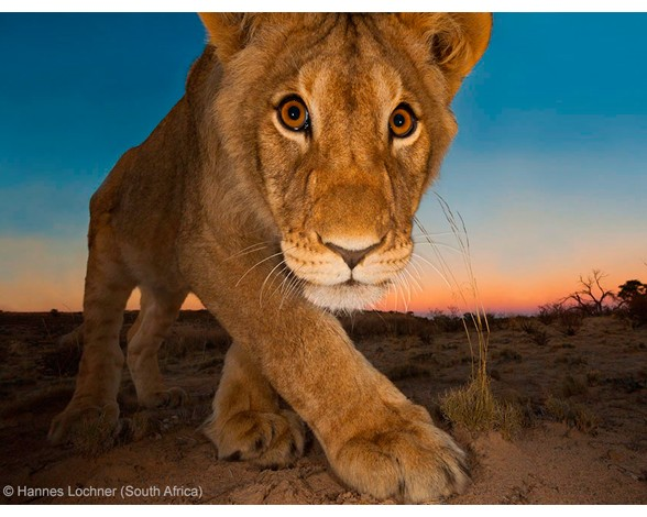 Hannes Lochner pasó cinco años perfeccionando su tecnología inalámbrica para retratar la fauna africana por la noche. En esta foto, finalista en la categoría retratos animales, se puede ver su espectacular resultado.