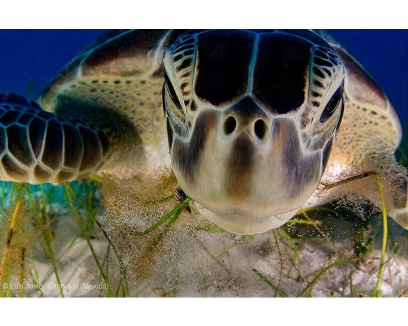 """Una hembra de tortuga verde se acercó tanto al mexicano Luis Javier Sandoval mientras buceaba por playas próximas a Cancún que pudo hacerle este genial retrato, ganador en la categoría """"Comportamiento: Animales de sangre fría"""" del Wildlife Photographer of the Year 2013."""