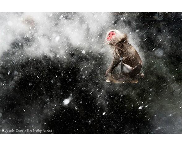 """El premio en la categoría """"Visiones creativas"""" fue para Jasper Doest, que fotografío a este macaco rodeado de copos de nieve en una """"piscina"""" de aguas termiles en Jigokudani."""