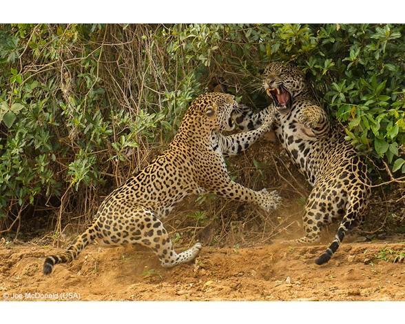 """Feroz pelea entre dos jaguares captada por Joe McDonald (EE UU) y ganadora del primer premio en la categoría """"Mamíferos: comportamiento"""""""