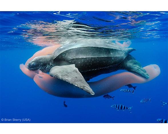 """Parece un flotador hinchable, pero lo que esta comiendo esta tortuga laúd es un pirosoma, una colonia flotante de cientos de miles de individuos que conforman un tubo gelatinoso. El estafounidense Brian Skerry obtuvo con esta foto el primer premio en la categoría """"Mundos submarinos""""."""