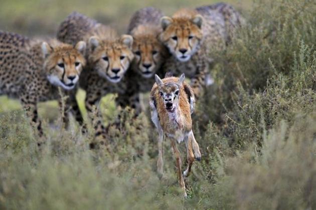 Guepardos cazando una gacela ¡Una encerrona en toda regla! Una gacela corre antes la presencia de cuatro guepardos. Parece que no tiene escapatoria. No es de extrañar que la gacela tenga cara de pánico. © Grégoire Bouguereau / Veolia Environnement Wildlife Photographer of the Year 2012