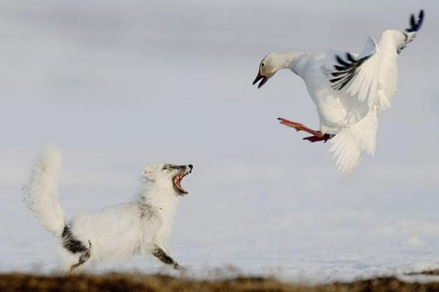 La mayor colonia de gansos de nieve Cada año, un cuarto de millón de gansos de la nieve migran a finales mayo de América del Norte hasta el Océano Ártico, donde se encuentra la isla de Wrangel. Todos los gansos van allí para criar. No hay ningún otro lugar en la tierra donde se concentre una colonia de gansos de la nieve en plena anidación. El fotógrafo Sergey Gorshkov se paso dos meses viendo estos animales, y pudo ver con sus propios ojos cuando algunos zorros saqueaban los huevos de los gansos de la nieve. © Sergey Gorshkov / Veolia Environnement Wildlife Photographer of the Year 2012