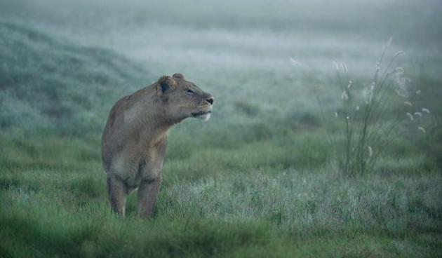 Leona en busca de su manada El fotógrafo estaba en el Delta de Okavango en Botswana. Era el amanecer y esta leona busca a su manada. © Frits Hoogendijk / Veolia Environnement Wildlife Photographer of the Year 2012