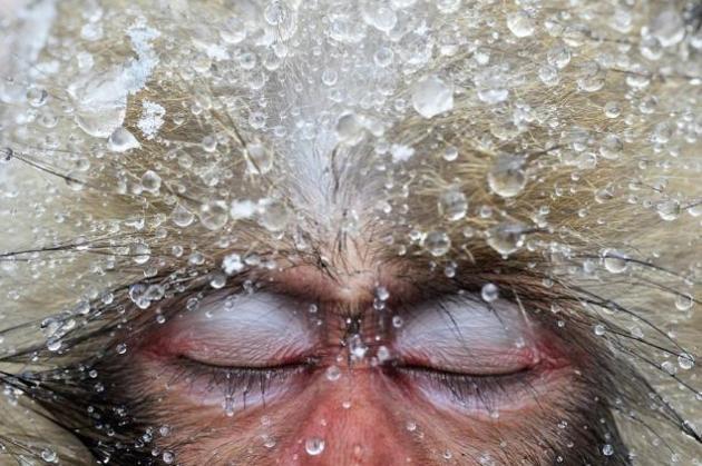 Macaco japonés en pleno calentamiento En invierno, cuando el hielo y la nieve cubre las montañas en el centro de Japón, los macaco japonés o macaco de cara roja acuden a las aguas termales para calentarse. El joven animal se confío durante un momento de descanso y el fotógrafo logró esta imagen impactante. © Jasper Doest / Veolia Environnement Wildlife Photographer of the Year 2012