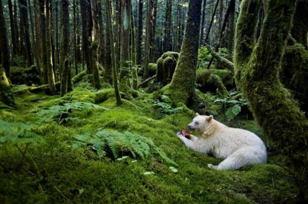 Oso blanco comiendo sangrientos manjares Parece un plano falseado de un oso blanco. El fotógrafo logró capturar el instante en el que el oso polar estaba consumiendo sus sangrientos despojos en un bosque de cuento de hadas. La foto fue tomada en la costa oeste de Canadá a Alaska. En este bosque, el oso Kermode - una subespecie del oso negro americano tiene su hogar. Aproximadamente uno de cada diez de estos osos nacen con una 'bata blanca', una característica que se debe a una mutación genética. No son albinos. Su nariz es de color negro y los ojos también son oscuros. © Paul Nicklen / Veolia Environnement Wildlife Photographer of the Year 2012