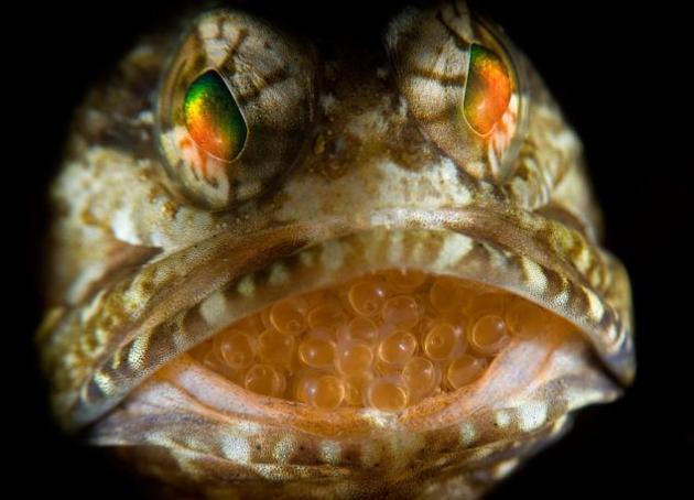 Peces que llevan a sus crías en la boca Los bocones (Opistognathidae) es una familia de peces marinos incluida en el orden Perciformes. Se encuentran en arrecifes poco profundos de los océanos Atlántico y Pacífico desde el golfo de California a Panamá. La foto demuestra como un padre cariñoso lleva a su descendencia en la boca, donde nacen. El arrecife de peces fue descubierto en frente a las costas de Florida. © Steven Kovacs / Veolia Environnement Wildlife Photographer of the Year 2012