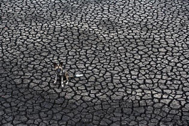 Perros salvajes en busca de agua Desierto en lugar de agua. El fotógrafo estuvo más de cuatro años en la Reserva de Malilangwe de Zimbabue buscando los perros salvajes. Viajó y cazó con ellos. Pudo empaparse de la vida de estos perros salvajes. En general, comprobó los riesgos a los que los animales salvajes están cada vez más expuestos: conflicto con la gente por la pérdida de su hábitat, las enfermedades, el aumento del tráfico... A menudo son considerados una molestia y el fotógrafo quiso revindicar que son una parte importante de un ecosistema. © Kim Wolhuter / Veolia Environnement Wildlife Photographer of the Year 2012