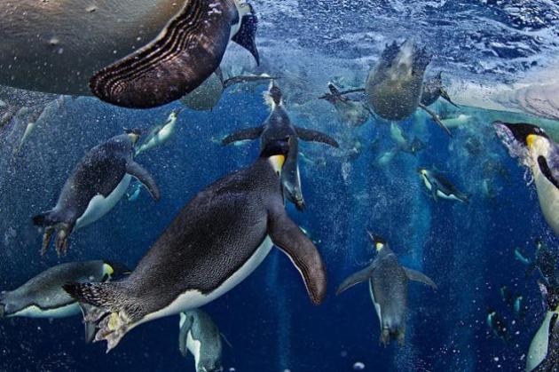 Pingüinos a la caza Cientos de pingüinos emperador entre una nube de burbujas se esfuerzan durante la caza colectiva en el Mar de Ross, la Antártida. Todos deberán salir por el únco agujero que tiene el hielo para llegar a la colonia a alimentar a sus polluelos. © Paul Nicklen / Veolia Environnement Wildlife Photographer of the Year 2012