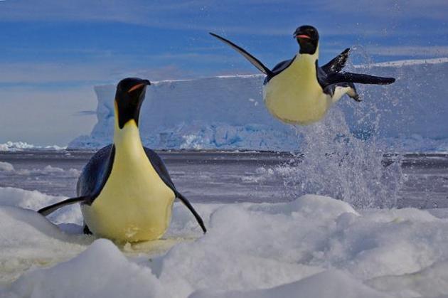 Pingüinos emperadores escapando de sus enemigos Hasta dos metros de altura logran saltar los pingüinos emperador. Estos animales tienen la habilidad de deslizarse hacia una zona de seguridad con el fin de escapar de sus enemigos naturales, la foca leopardo. En las aguas del Mar de Ross en la Antártida los pingüinos tienen que bucear, porque sólo allí encuentran alimento. Así alimentan a sus crías. © Paul Nicklen / Veolia Environnement Wildlife Photographer of the Year 2012