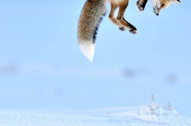 """Un zorro salta para cazar Este zorro volador fue fotografiado en el Parque Nacional de Yellowstone, en Wyoming. Estaba justo a la caza de roedores. """"Fue muy rápido"""", dice Peters, """"apenas podía coger la cámara en la posición""""."""