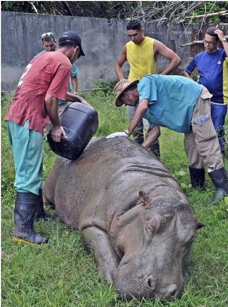 Hidratación del hipopótamo antes de su traslado al Zoológico de Santiago de Cuba (Foto Jose M. Correa, usada con permiso)